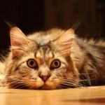 2-3 марта в Крокус Экспо состоится международная выставка кошек